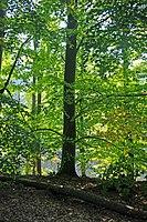 Alte Buchenwälder und Buchenurwälder der Karpaten und anderer Regionen Europas