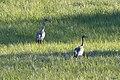 Grus grus NZ7 1308 (50236669436).jpg