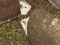 Guinea Pigs - Cuy - Inti Nan Museum - El Mitad del Mundo - equator exhibit - Quto Ecuador (4870695064).jpg