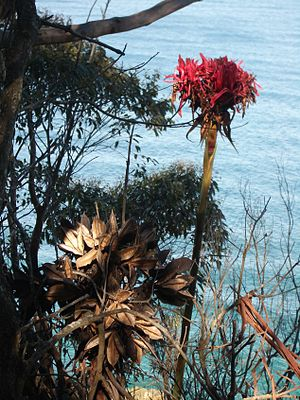 Doryanthes excelsa - Image: Gymea Lily Flower Seeds