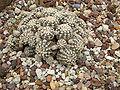 Gymnocalycium bruchii c-1228 - 01.jpg