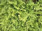Gymnocarpium-robertianum-limestone-fern-0b.jpg