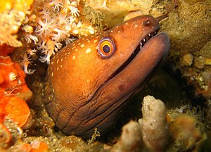 Port Stephens (New South Wales) - Saw-tooth Moray Eel