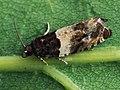 Gypsonoma dealbana - Common cloaked shootz (26407764727).jpg