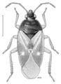 HEMI Anthocoridae Lyctocoris campestris.png
