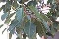 HKCL 香港中央圖書館 CWB tree 高山榕 Ficus altissima Oct-2017 IX1 03.jpg