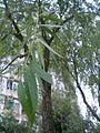 HK Sham Shui Po Tung Chau Street Park Tree Willow 2.JPG