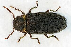 Trotzkopf Insekt Wikipedia