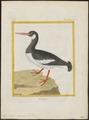 Haematopus ostralegus - 1700-1880 - Print - Iconographia Zoologica - Special Collections University of Amsterdam - UBA01 IZ17300001.tif
