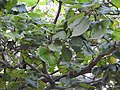 Haldinia cordifolia-1-mundanthurai-tirunelveli-India.jpg
