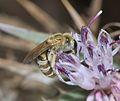 Halictus subauratus female 2.jpg