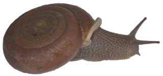 <i>Halongella schlumbergeri</i> species of mollusc