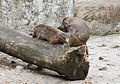 Hamadríade (Papio hamadryas), Tierpark Hellabrunn, Múnich, Alemania, 2012-06-17, DD 06.JPG