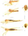 Hamayulus rufomaculatus 0103758 g008.png