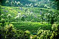 Haputale Tea Plantation.jpg