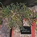 Hatiora salicornioides20140104 063.jpg