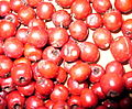 Hawthorn fruits.JPG
