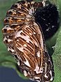 Heath Fritillary pupa.jpg