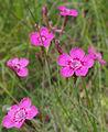 Heide-Nelke (Dianthus deltoides) (2).jpg