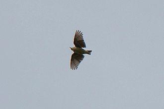Woodlark - Bird in flight at Südheide Nature Park