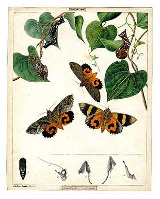 Helena Scott - Fruit-piercing moth, Eudocima phalonia