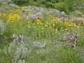 Helianthella uniflora (3646164999).jpg