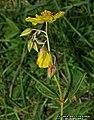Helianthemum nummularium inflorescence (24).jpg