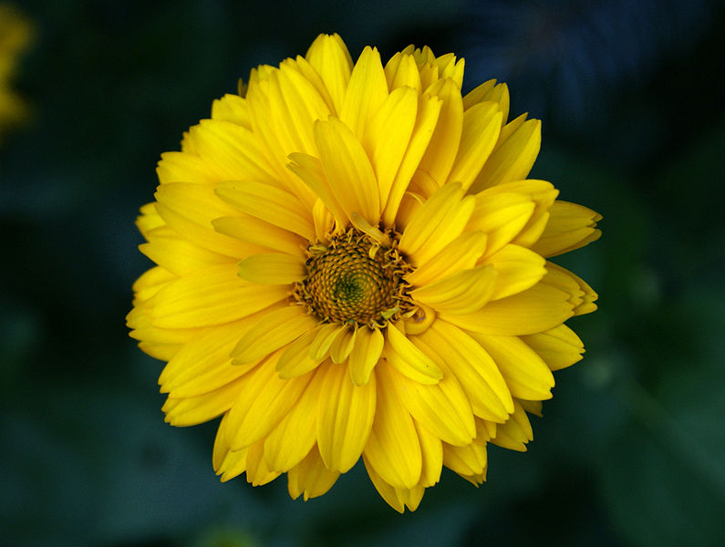File:Heliopsis helianthoides 2008.jpg