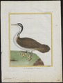 Heliornis fulica - 1700-1880 - Print - Iconographia Zoologica - Special Collections University of Amsterdam - UBA01 IZ17500249.tif