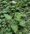 Heliotropium indicum W IMG 9955.jpg