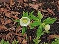 Helleborus orientalis. Bijna witte zaailing 04.JPG