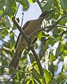 Helmeted Friarbird (Philemon buceroides) - Flickr - Lip Kee.jpg
