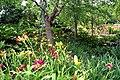 Hemerocallis hybrids (Daylilies).JPG