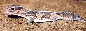 African fat-tailed gecko