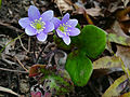 Hepatica nobilis - Roundlobe Hepatica.jpg
