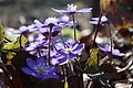 Hepatica nobilis 0528.jpg