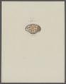 Hepatus spec. - - Print - Iconographia Zoologica - Special Collections University of Amsterdam - UBAINV0274 096 05 0004.tif