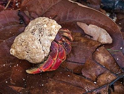 Caribbean hermit crab (coenobita clypeatus) in the Dry Tortugas