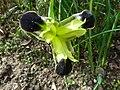 Hermodactylus tuberosus flower.jpg