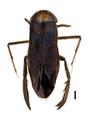 Hesperocorixa sahlbergi.png