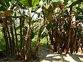 Hf9906Banana plantations Philippinesfvf 08.JPG