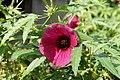 Hibiscus radiatus 01.JPG