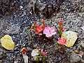 Hibiscus rhodanthus.jpg