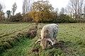 Highland cow beside a brook near Hatton locks - geograph.org.uk - 1587821.jpg