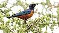 Hildebrandt's Starling (Lamprotornis hildebrandti) (32712715458).jpg