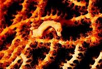 Hippocampus denise