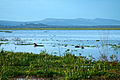 Hippos in Lake Naivasha (5232663878).jpg