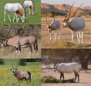 Grazing antelope - Image: Hippotraginae 001