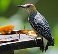 Hoffmann's Woodpecker.jpg