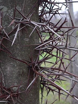 Honey locust - Detail of thorns